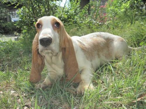 バセットハウンドの子犬(ID:1230911076)の1枚目の写真/更新日:2017-06-04
