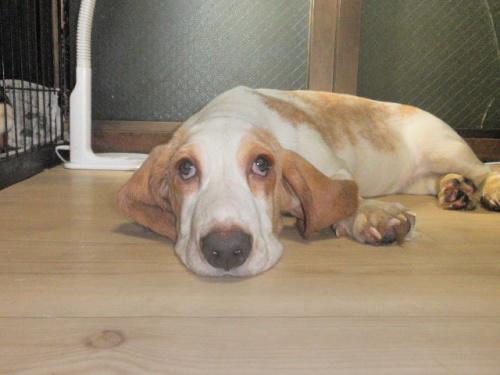 バセットハウンドの子犬(ID:1230911076)の4枚目の写真/更新日:2017-05-17