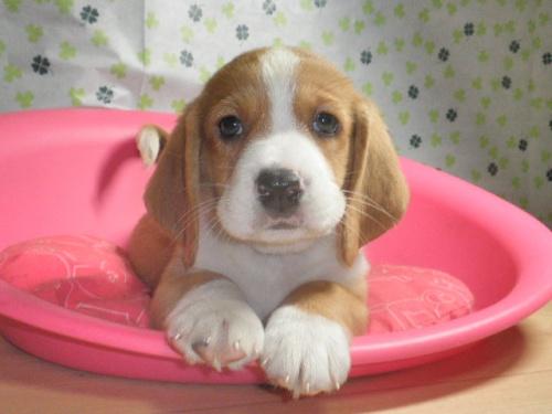 ミックスの子犬(ID:1230911080)の1枚目の写真/更新日:2017-07-02