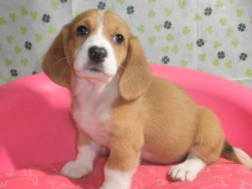 ミックスの子犬(ID:1230911084)の4枚目の写真/更新日:2017-07-02