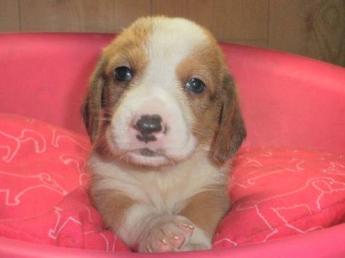 ミックスの子犬(ID:1230911086)の1枚目の写真/更新日:2017-06-13
