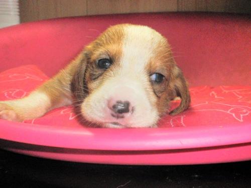 ミックスの子犬(ID:1230911086)の4枚目の写真/更新日:2017-06-04