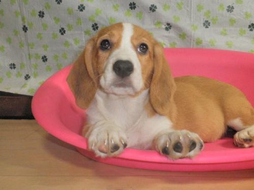 ミックスの子犬(ID:1230911087)の1枚目の写真/更新日:2017-07-29