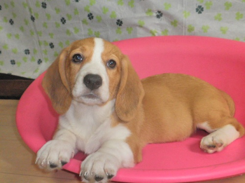 ミックスの子犬(ID:1230911087)の2枚目の写真/更新日:2017-07-29