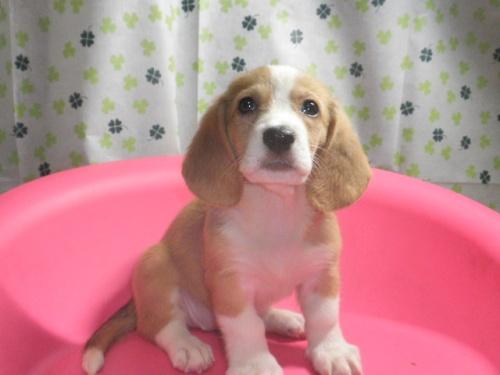 ミックスの子犬(ID:1230911088)の4枚目の写真/更新日:2017-07-08