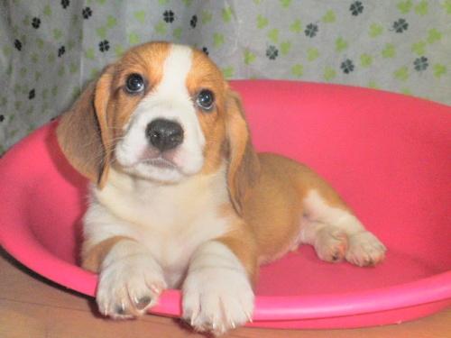 ミックスの子犬(ID:1230911090)の3枚目の写真/更新日:2017-07-15