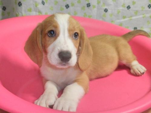 ミックスの子犬(ID:1230911091)の4枚目の写真/更新日:2017-07-15