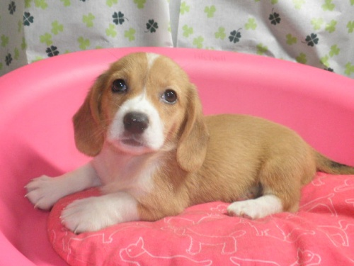 ミックスの子犬(ID:1230911092)の4枚目の写真/更新日:2017-07-08