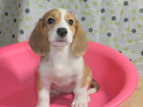 ミックスの子犬(ID:1230911094)の3枚目の写真/更新日:2017-07-15