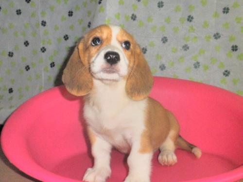 ミックスの子犬(ID:1230911094)の4枚目の写真/更新日:2017-07-15