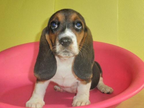 ミックスの子犬(ID:1230911097)の4枚目の写真/更新日:2017-08-08