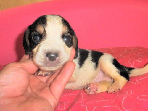 ミックスの子犬(ID:1230911099)の3枚目の写真/更新日:2017-06-29