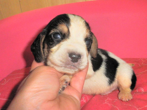 ミックスの子犬(ID:1230911099)の4枚目の写真/更新日:2017-06-29