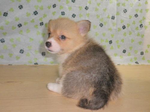 ウェルシュ・コーギー・ペンブロークの子犬(ID:1230911101)の5枚目の写真/更新日:2017-07-21