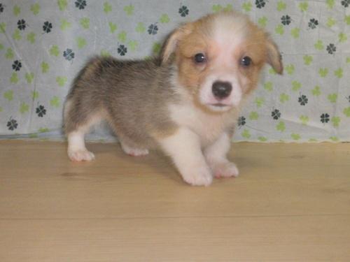 ウェルシュ・コーギー・ペンブロークの子犬(ID:1230911102)の2枚目の写真/更新日:2017-07-21