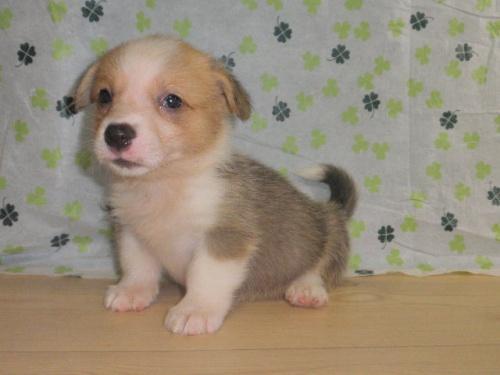 ウェルシュ・コーギー・ペンブロークの子犬(ID:1230911102)の3枚目の写真/更新日:2017-07-21