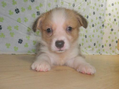ウェルシュ・コーギー・ペンブロークの子犬(ID:1230911102)の4枚目の写真/更新日:2017-07-21