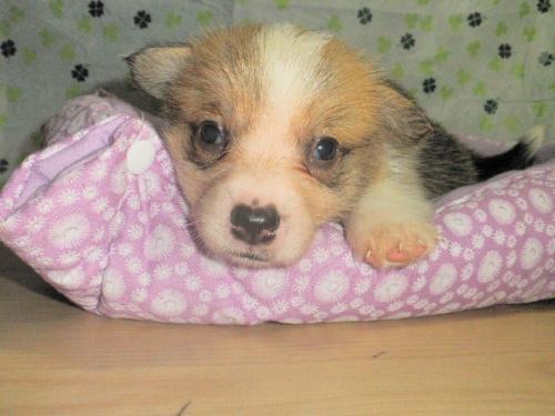 ウェルシュ・コーギー・ペンブロークの子犬(ID:1230911103)の1枚目の写真/更新日:2017-07-15