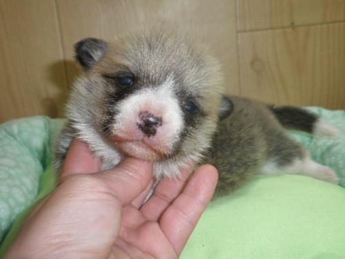 ウェルシュ・コーギー・ペンブロークの子犬(ID:1230911110)の2枚目の写真/更新日:2018-02-24