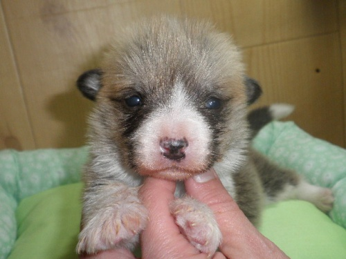 ウェルシュ・コーギー・ペンブロークの子犬(ID:1230911110)の4枚目の写真/更新日:2018-02-24