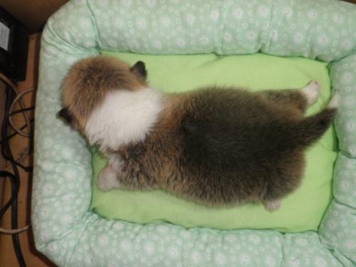 ウェルシュ・コーギー・ペンブロークの子犬(ID:1230911110)の6枚目の写真/更新日:2018-02-24