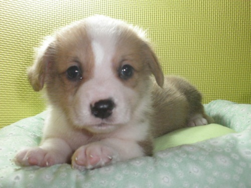 ウェルシュ・コーギー・ペンブロークの子犬(ID:1230911111)の3枚目の写真/更新日:2018-05-26