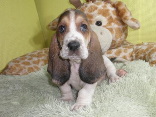 バセットハウンドの子犬(ID:1230911112)の1枚目の写真/更新日:2018-06-23