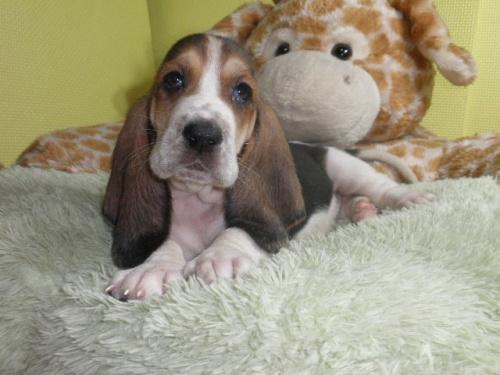 バセットハウンドの子犬(ID:1230911112)の2枚目の写真/更新日:2018-06-23