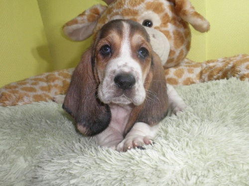 バセットハウンドの子犬(ID:1230911112)の3枚目の写真/更新日:2018-07-20