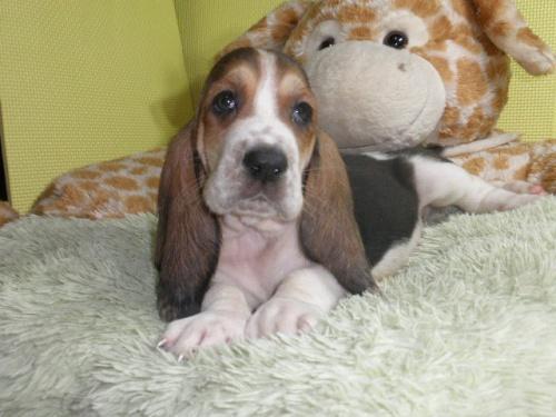 バセットハウンドの子犬(ID:1230911112)の5枚目の写真/更新日:2018-07-20