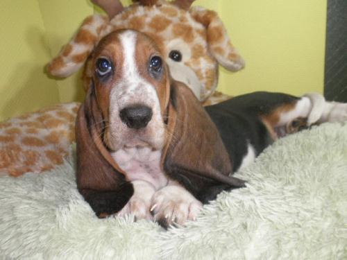 バセットハウンドの子犬(ID:1230911113)の1枚目の写真/更新日:2018-06-23