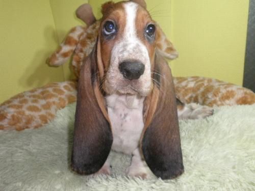 バセットハウンドの子犬(ID:1230911113)の3枚目の写真/更新日:2018-06-23
