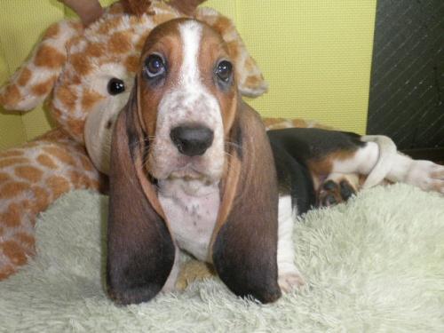 バセットハウンドの子犬(ID:1230911113)の4枚目の写真/更新日:2018-08-09