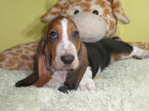 バセットハウンドの子犬(ID:1230911113)の5枚目の写真/更新日:2018-06-23