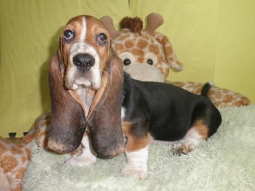 バセットハウンドの子犬(ID:1230911114)の1枚目の写真/更新日:2018-08-09