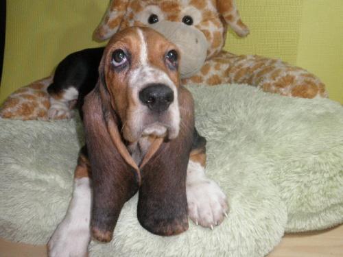 バセットハウンドの子犬(ID:1230911114)の2枚目の写真/更新日:2018-08-09