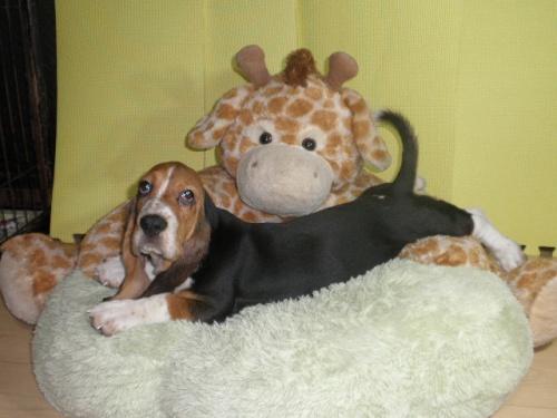 バセットハウンドの子犬(ID:1230911114)の3枚目の写真/更新日:2018-08-09