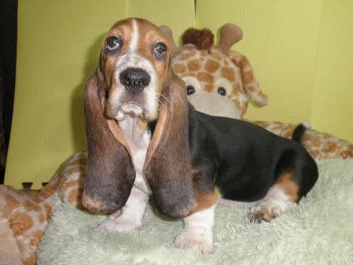 バセットハウンドの子犬(ID:1230911114)の4枚目の写真/更新日:2018-08-09