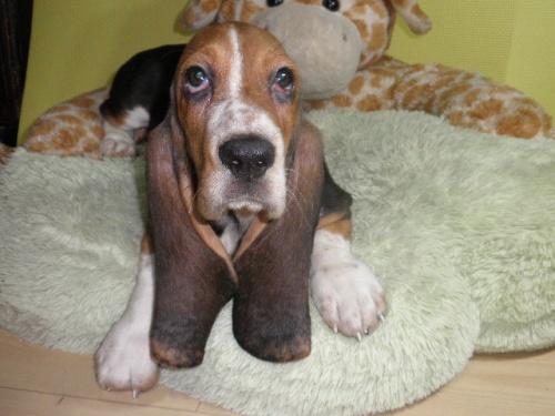 バセットハウンドの子犬(ID:1230911114)の5枚目の写真/更新日:2018-08-09