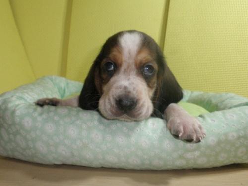 バセットハウンドの子犬(ID:1230911115)の5枚目の写真/更新日:2018-07-04