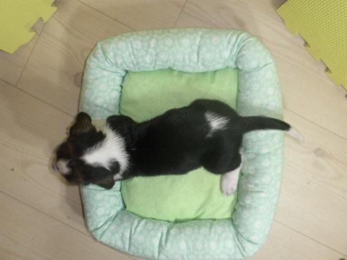 バセットハウンドの子犬(ID:1230911115)の6枚目の写真/更新日:2018-07-04