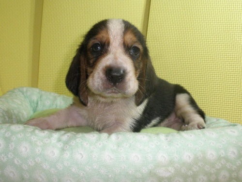 バセットハウンドの子犬(ID:1230911116)の1枚目の写真/更新日:2018-07-04