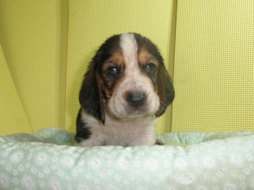 バセットハウンドの子犬(ID:1230911116)の2枚目の写真/更新日:2018-06-23