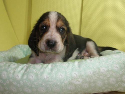 バセットハウンドの子犬(ID:1230911116)の3枚目の写真/更新日:2018-06-23