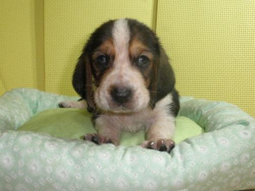 バセットハウンドの子犬(ID:1230911116)の4枚目の写真/更新日:2018-07-04