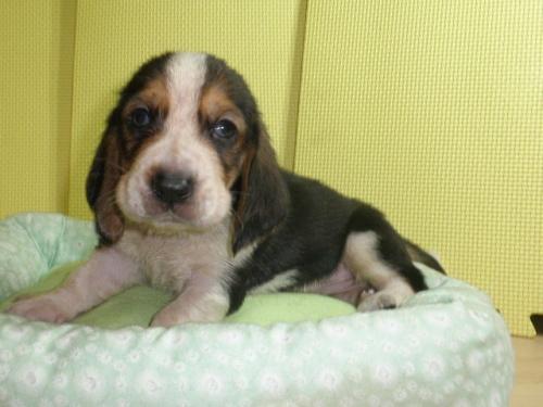 バセットハウンドの子犬(ID:1230911116)の5枚目の写真/更新日:2018-07-04