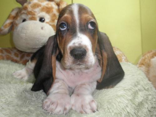 バセットハウンドの子犬(ID:1230911117)の1枚目の写真/更新日:2018-08-09