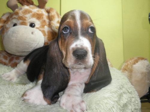 バセットハウンドの子犬(ID:1230911117)の2枚目の写真/更新日:2018-08-09