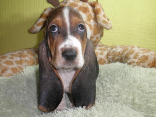 バセットハウンドの子犬(ID:1230911117)の4枚目の写真/更新日:2018-08-09