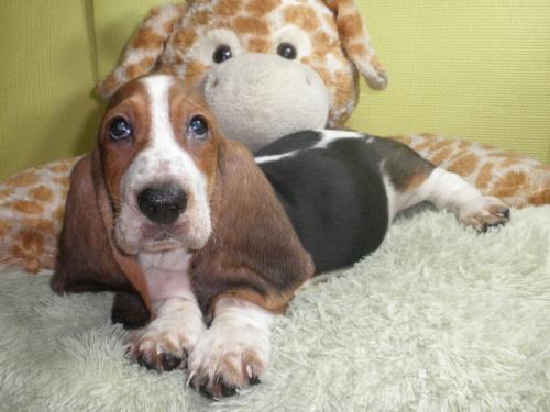 バセットハウンドの子犬(ID:1230911118)の1枚目の写真/更新日:2018-08-09